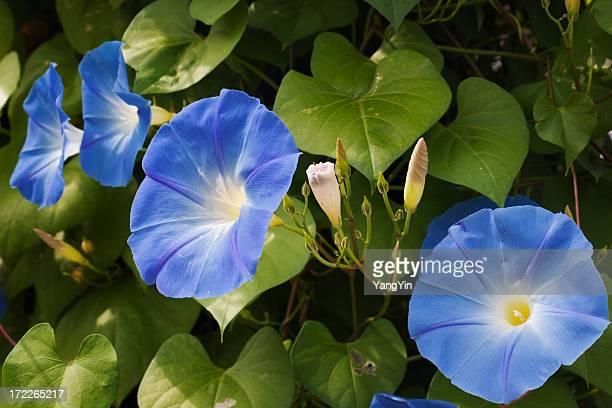 Morning Glory Flower Blooms, Blue Sunlit Petals in Garden