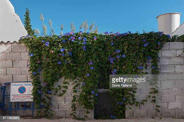 morning glory on a wall - dorte fjalland stock-fotos und bilder
