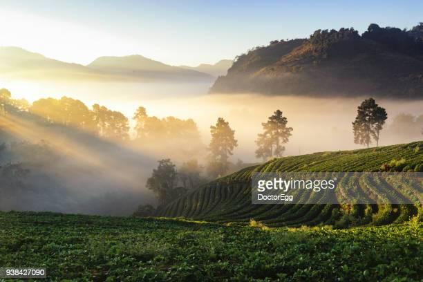 morning golden mist with strawberry terrace farm at doi angkhang mountain - orchard stockfoto's en -beelden