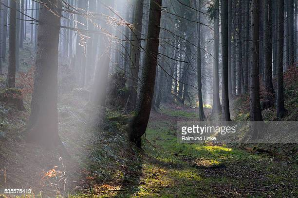 Morning Haze in the Coniferus Forest