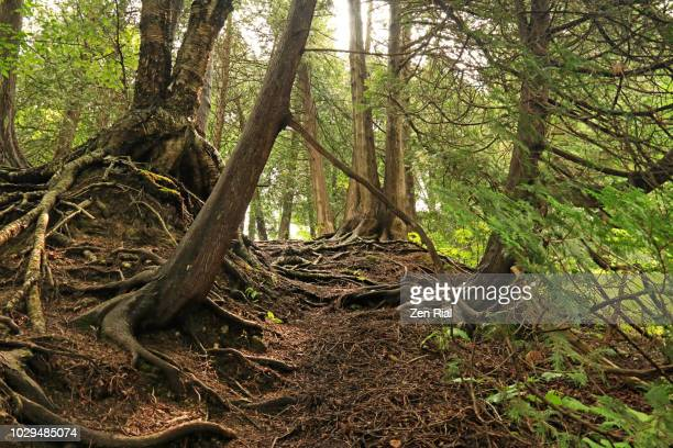 morning in the woods shows cypress trees with morning light highlighting tree roots and forest floor - forest floor stock photos and pictures