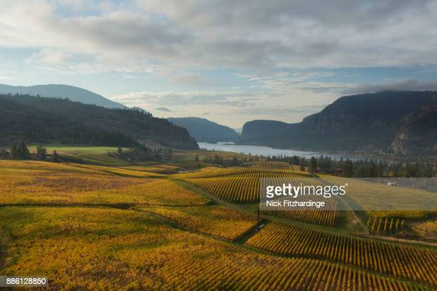 Morning light on Blue Mountain Vineyard as the vines turn yellow during the fall season, South Okanagan Valley, British Columbia, Canada
