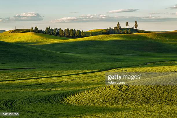 Morning light on rolling hills covered in wheat