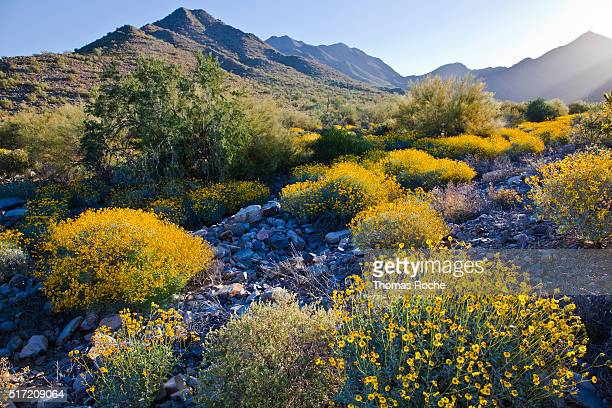 Morning light on the brittlebush in Scottsdale