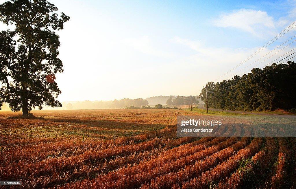Morning Light on Wheatfield : ストックフォト