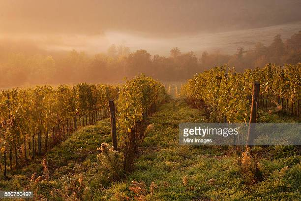 Morning light over the vines in a vineyard in autumn.