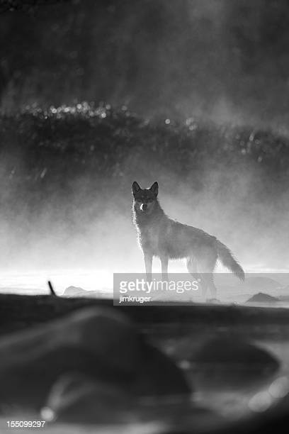 morning mist and gray wolf. - one animal stock photos and pictures