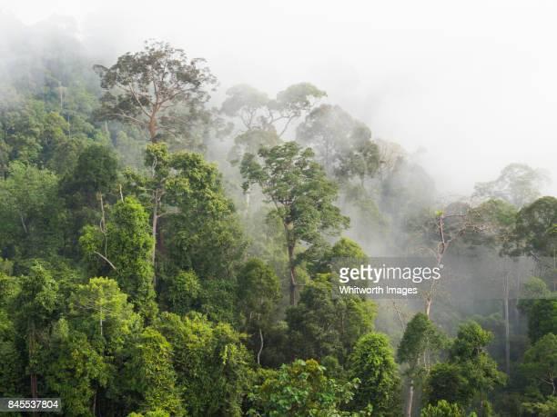 Morning mist on rainforest canopy in Dermakot, Sabah, Borneo.