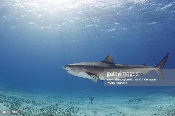 morning - requin tigre photos et images de collection