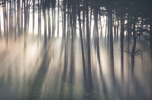 Morning ray in pine forest - gettyimageskorea