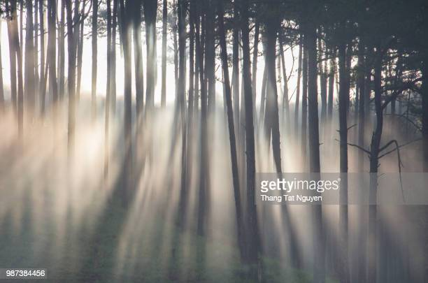 Morning ray in pine forest