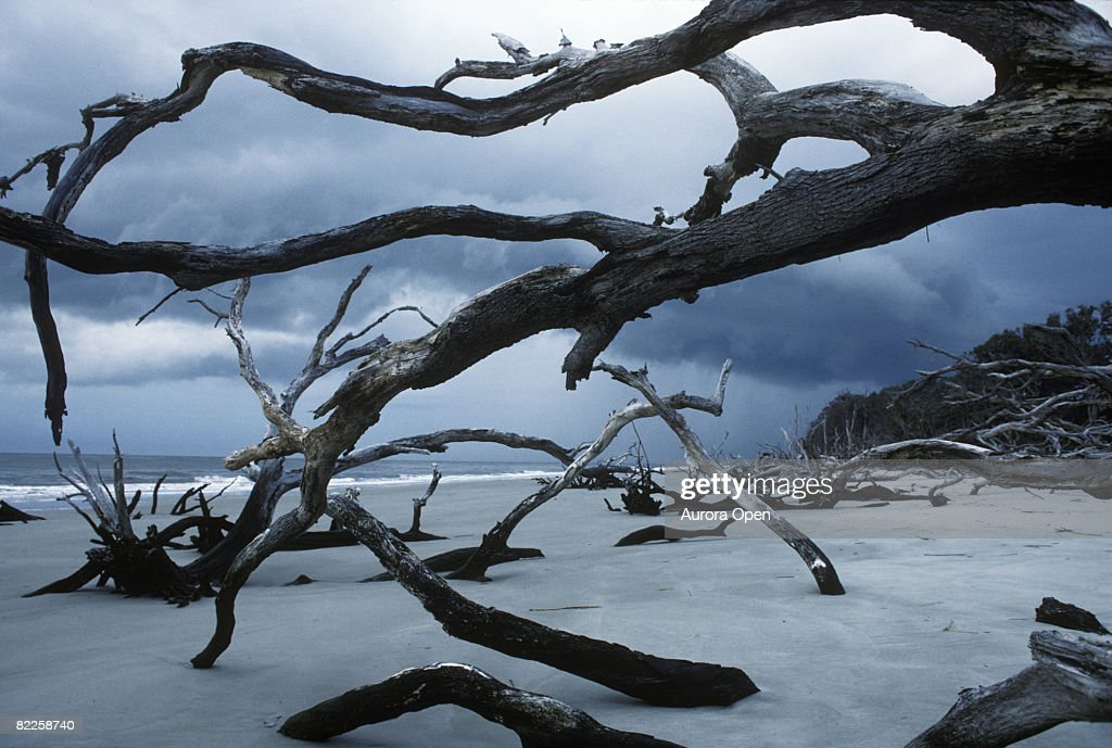 A morning summer storm darkens the sky at the bone yard of gnarled and twisted trees. These trees bare and bleached white from t : Stock Photo