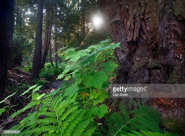 morning sun in old-growth forest - don smith stock pictures, royalty-free photos & images