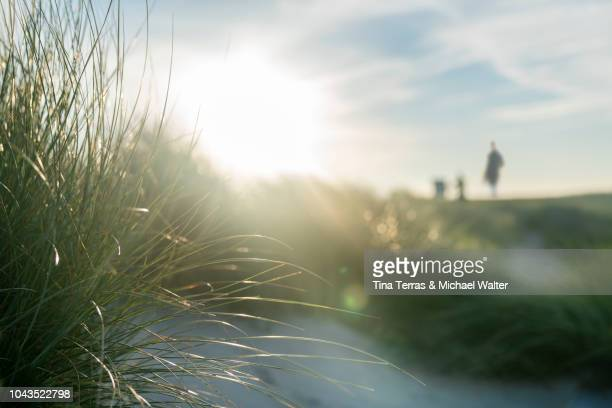 morning sun over sandy dunes on the island sylt, - graspflanze stock-fotos und bilder