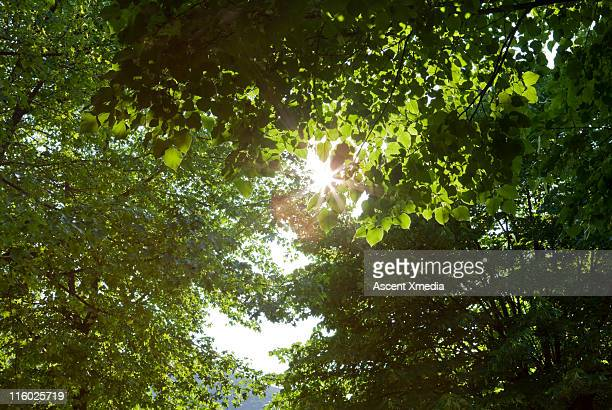 morning sun penetrates leaf canopy in forest - number of people stock photos and pictures