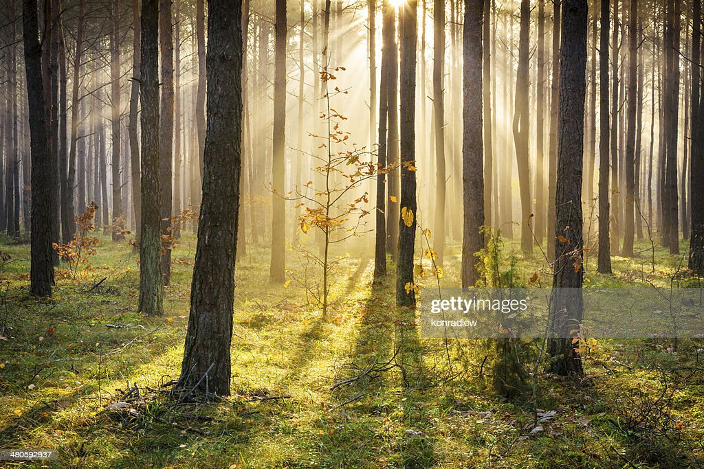 Morning Sun Rays Penetrating Forest - XXXL HDR image : Stock Photo