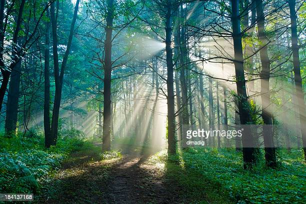 morning sunlight filtering through foggy forest in the summertime - morgen stockfoto's en -beelden