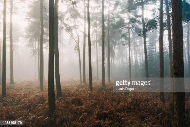 morning sunlight in a misty forest - tree stock pictures, royalty-free photos & images