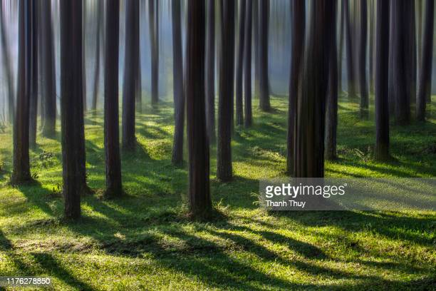 morning sunlight in pine forest - ruhige szene stock-fotos und bilder