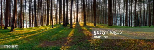 morning sunlight in the pine forest - bosco foto e immagini stock