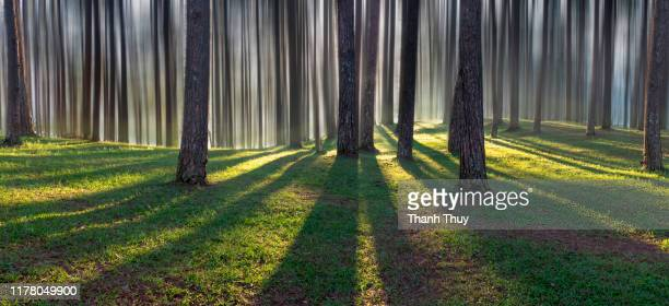 morning sunlight in the pine forest - 地層 ストックフォトと画像
