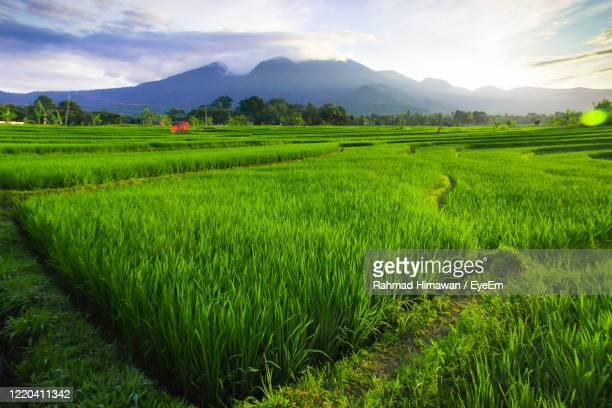 morning sunrise at paddy fields in north bengkulu asia indonesia, beauty color and sky natural light - rahmad himawan stock pictures, royalty-free photos & images