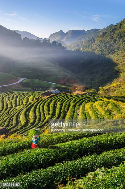 A morning sunrise at tea field with the villager and tourist in the field