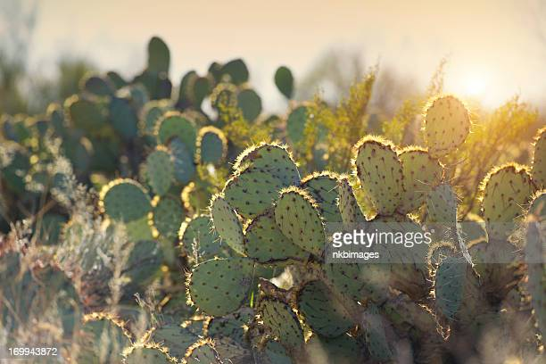 morning sunrise over desert cactus - sonoran desert stock pictures, royalty-free photos & images