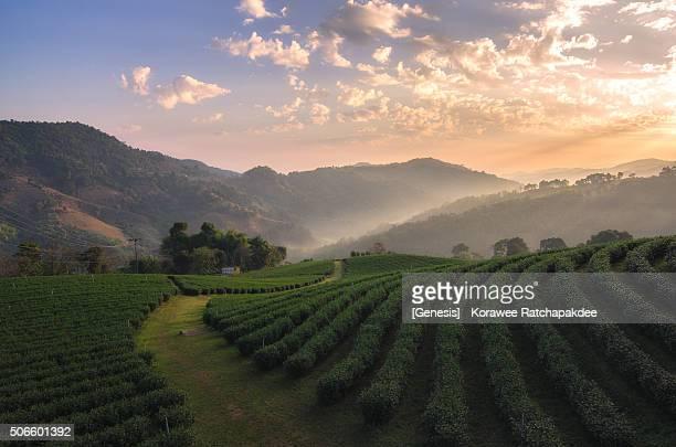 Morning sunrise with the beautiful tea farm