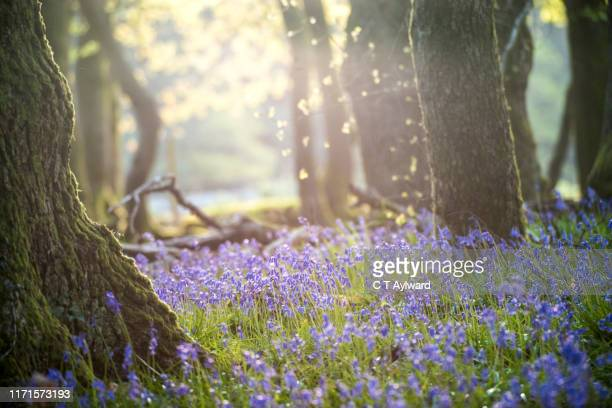morning sunshine and  bluebells carpets - wales stock pictures, royalty-free photos & images