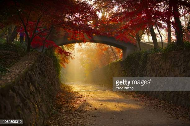 morning sunshine through a old stone bridge around by red maple in autumn season - 十月 ストックフォトと画像