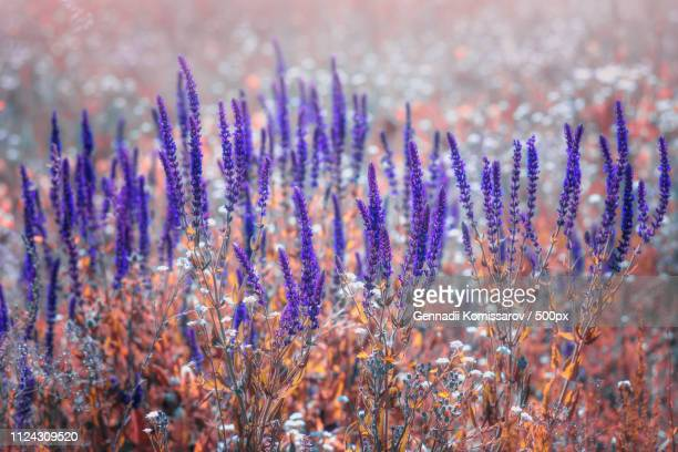 morning tenderness of meadow flower.selective fokus. - ナマクワランド ストックフォトと画像