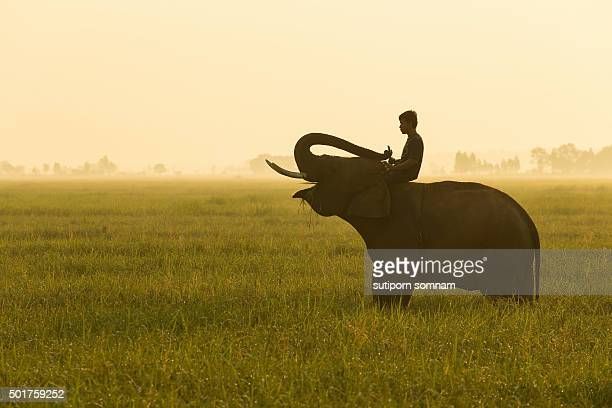 Morning time elephant with mahout on the field.