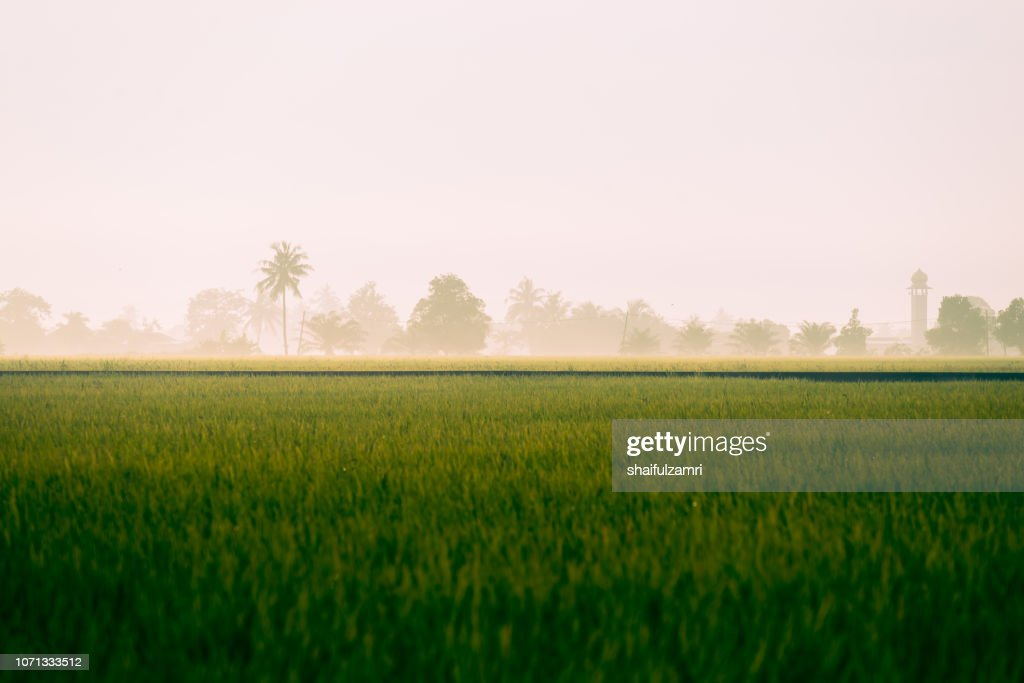 Morning view of paddy fields at rural area of Malaysia. : Stock Photo
