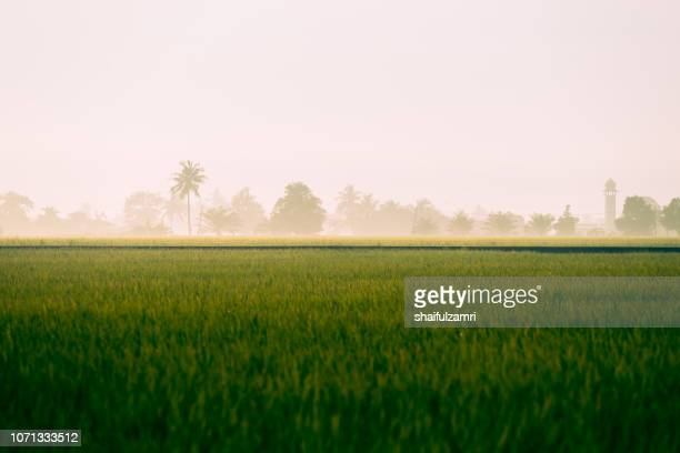 morning view of paddy fields at rural area of malaysia. - shaifulzamri stock pictures, royalty-free photos & images