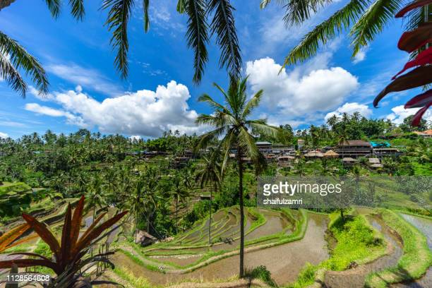 Morning view of paddy terrace in Ubud, Bali, Indonesia.
