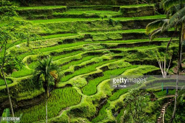 morning view of rice terrace - paddy field stock pictures, royalty-free photos & images