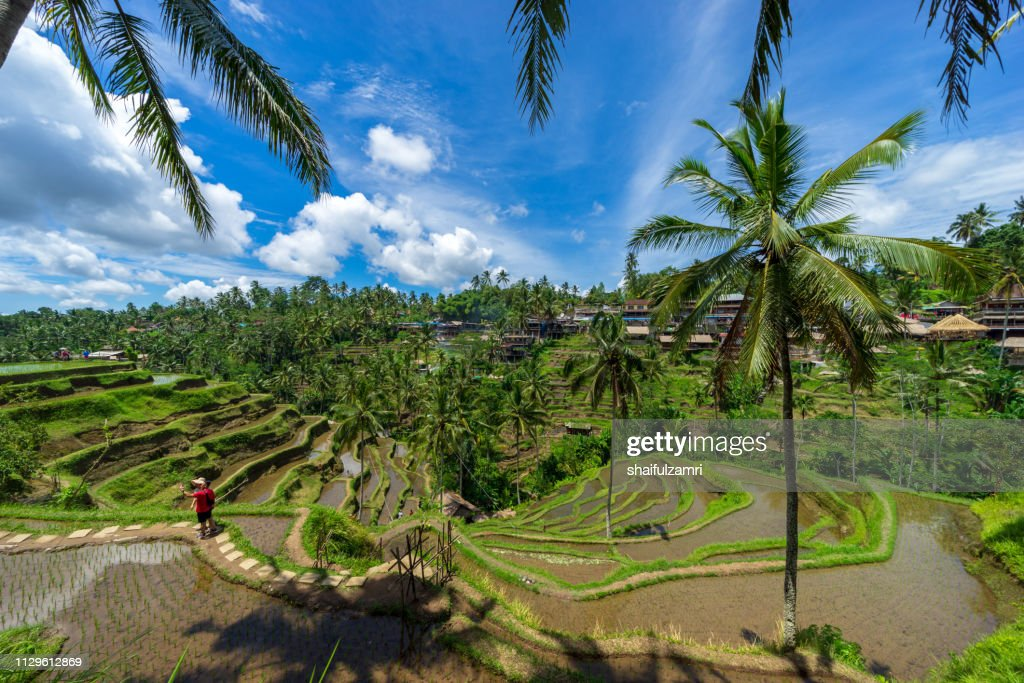 Morning view over beautiful rice terraces in the morning light near Tegallalang village, Ubud, Bali, Indonesia. : Stock Photo