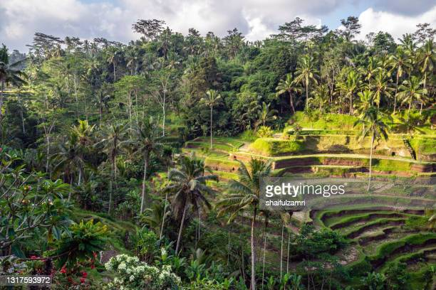 morning view over beautiful rice terraces near tegallalang village - shaifulzamri stock pictures, royalty-free photos & images