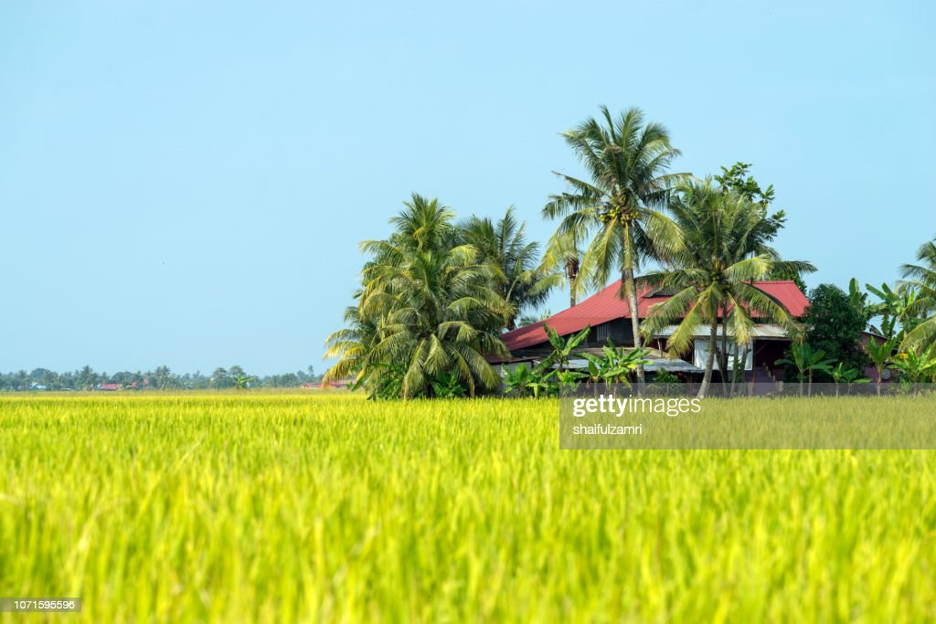 Morning view over paddy fields at Sabak Bernam which is one of the major rice supplier in Malaysia. : Stock Photo