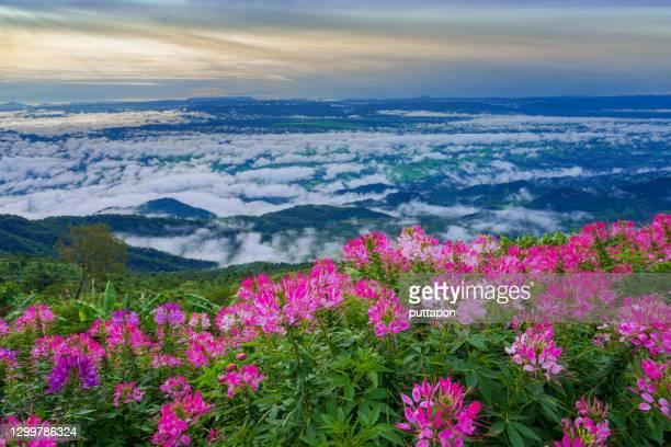 morning view point with mountain mist and with a beautiful flower garden in  phu thap boek, phetchabun province - boek stock-fotos und bilder