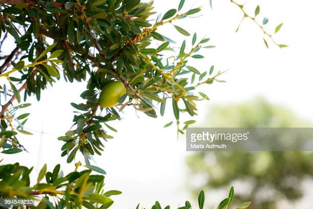 Moroccan argan tree nut Argania spinosa