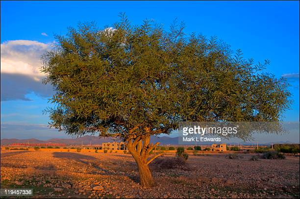 Moroccan Argan Tree