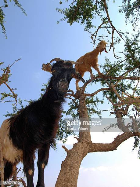 Moroccan goats