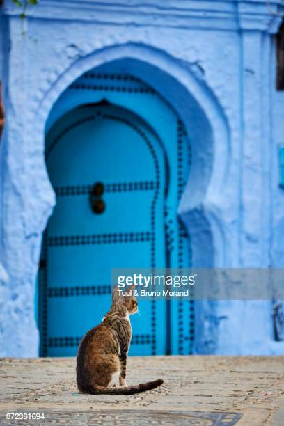 morocco, chefchaouen town, the blue city, street cat - chefchaouen photos et images de collection