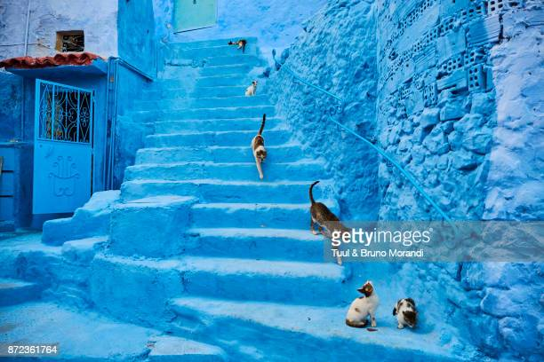Morocco, Chefchaouen town, the blue city, street cat