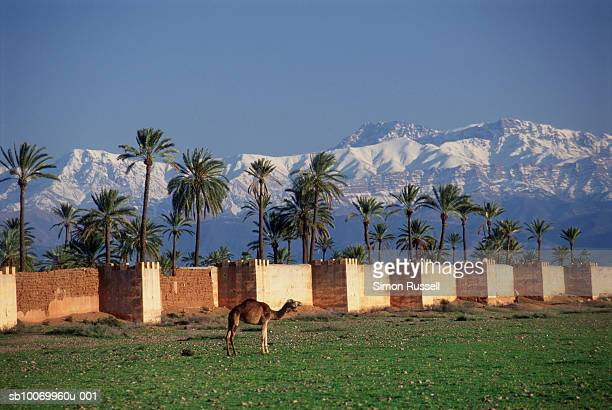 Morocco, Marrakech, camel by ramparts