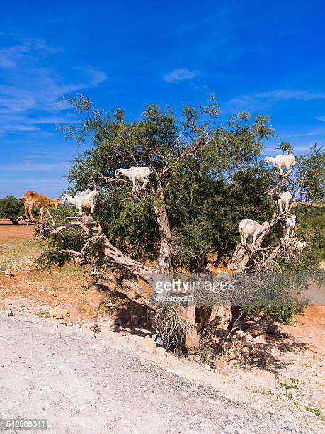 Morocco, Marrakech-Tensift-Al Haouz, Essaouira, Goats climbing on argan tree, eating argan nuts