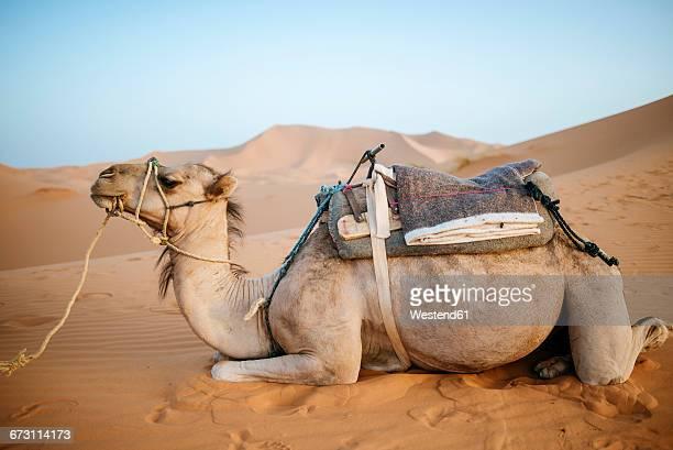 Morocco, Meknes-Tafilalet, Midelt, Merzouga, Camel in the desert Erg Chebbi.