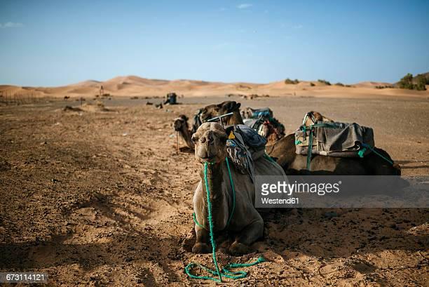 Morocco, Meknes-Tafilalet, Midelt, Merzouga, Camels in the desert Erg Chebbi.